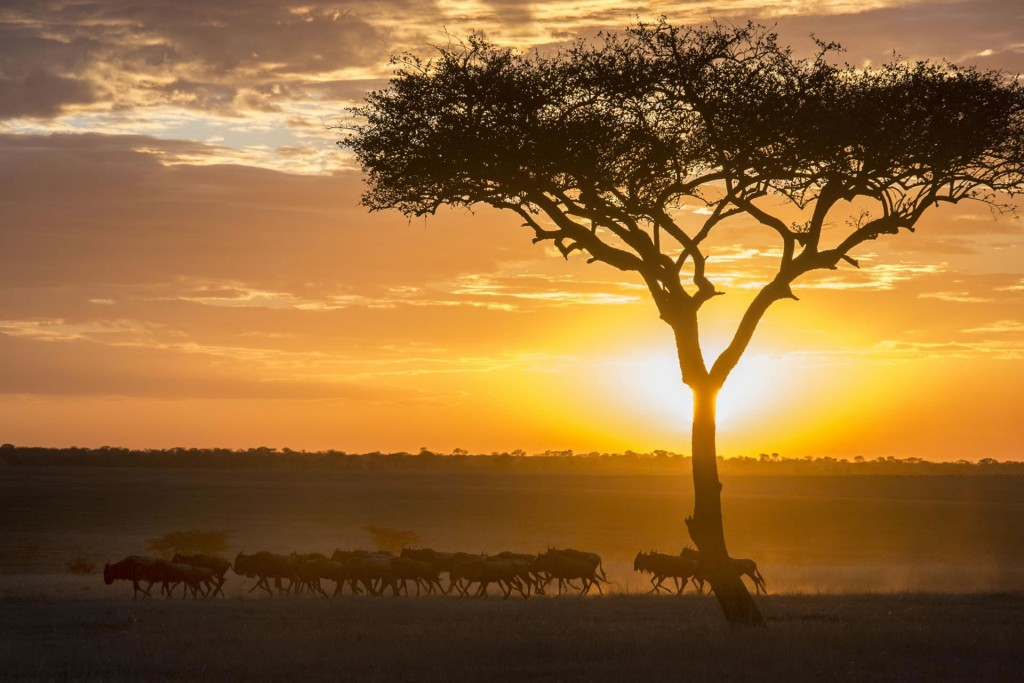 Wildebeest at sunrise at Serengeti Safari Camp under tree, Serengeti, Tanzania