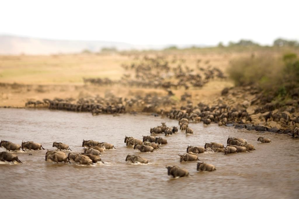 Wildebeest gathering at the river, Kleins Camp, Serengeti, Tanzania