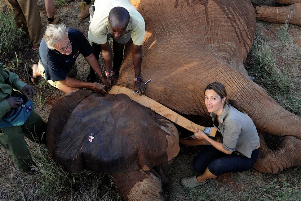 Iain and Saba Douglas-Hamilton together with a researcher adding a collar to an elephant