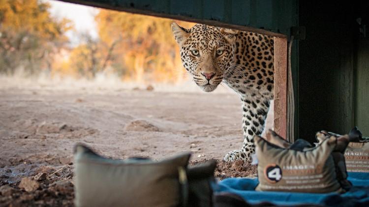 Wildlife photography safaris - leopard outside a safari hide