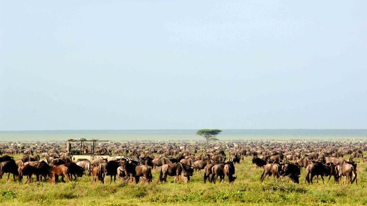 Wildebeest migration, safari game drive in Tanzania