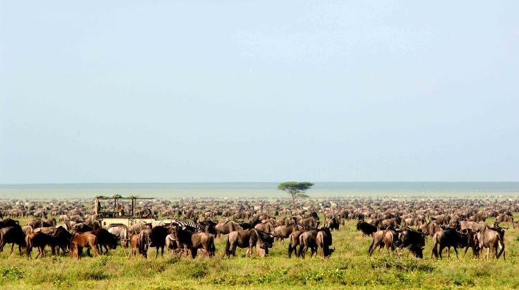 Wildebeest migration, safari game drive in Tanzania