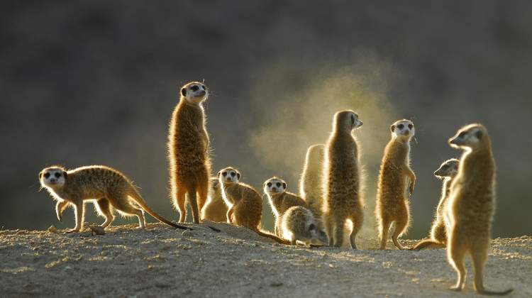 Clan  of meerkats back lit in sunshine on a safari