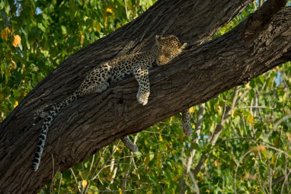 Zarafa leopard