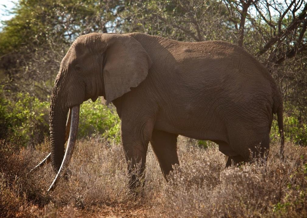CampiyaKanzi_ChyuluHills_Kenya_elephant_big_tusks