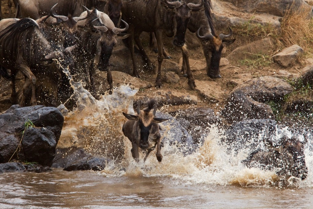 _Copyright_Beverly_Joubert_Mara_Plains_Camp_wildebeest_crossing_Kenya