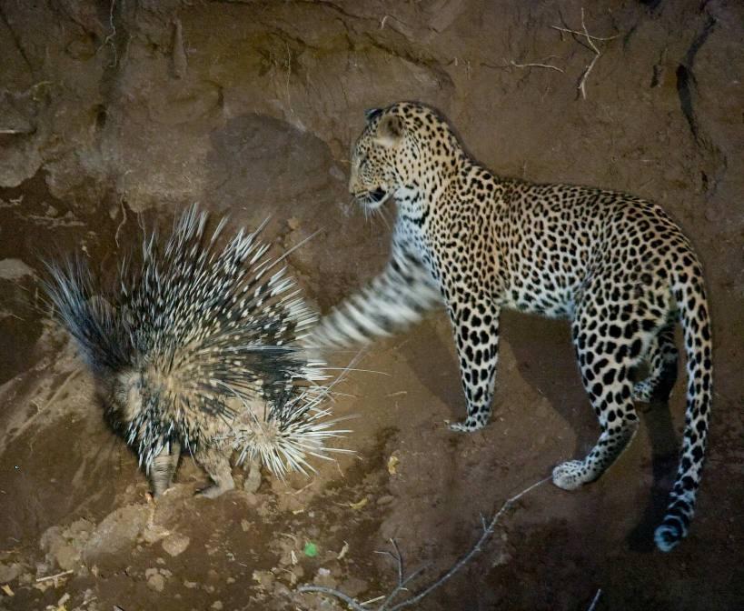 Leleshwa leopard and porcupine loita hills Kenya