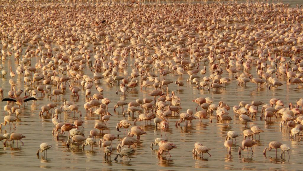 The Safari and Conservation Company - Samatian flamingos Kenya