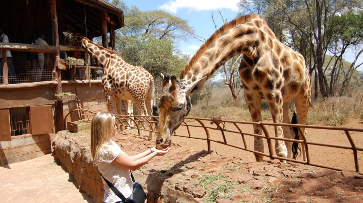 Nairobi Stopover 24 hours in Nairobi - Lady feeding giraffe at Giraffe Centre, Nairobi Kenya
