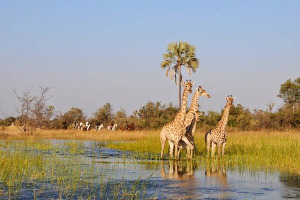 Riding safari viewing giraffe, Africa Horseback Safaris, Okavango Delta