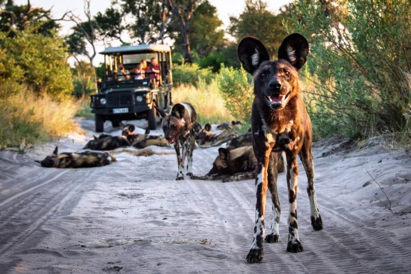 Pack of wild dogs on a game drive at Seba Camp, Okavango Delta