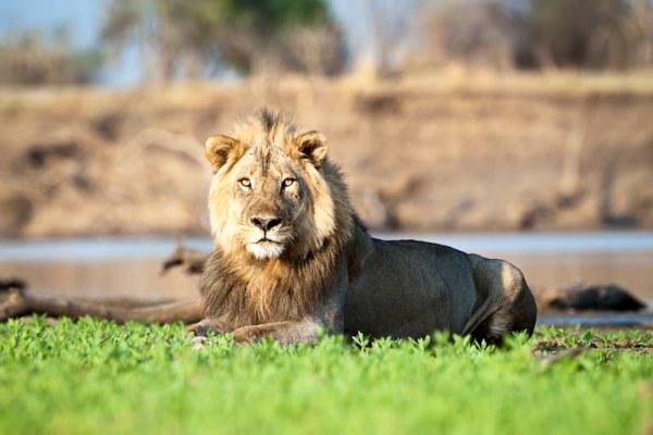 Nkwali lion