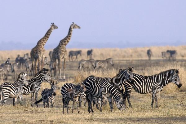 Chada Katavi Zebra Giraffe Tanzania