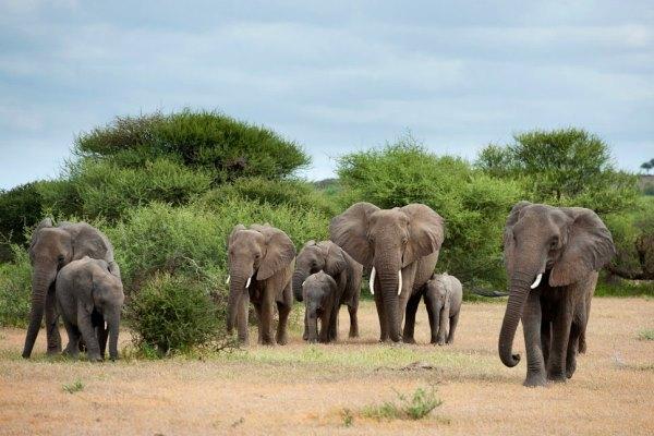 Elephant-Herd-Mashatu-Camp-Tuli-Area-Botswana