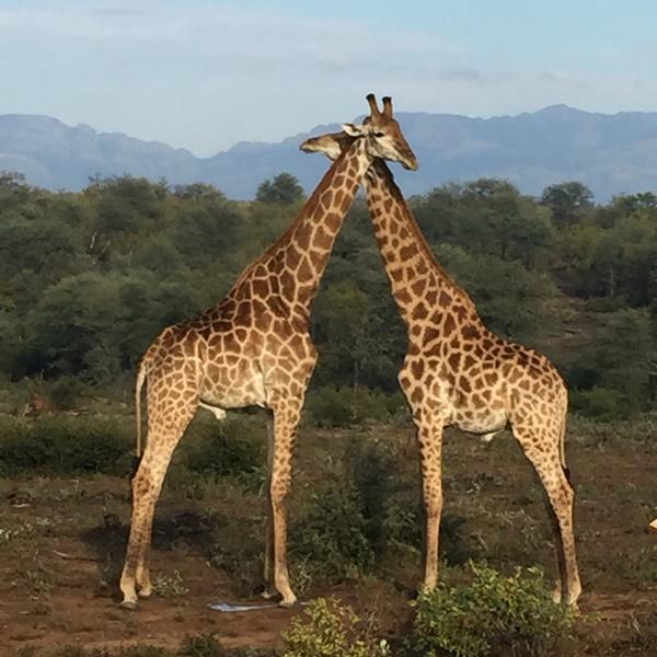 IMG_1540 pair giraffe Wait A Little SA 600 600