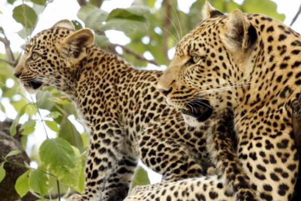 Leopard-mother-cub-Mombo-Camp-WildernessSafaris-Botswana-OkavangoDelta