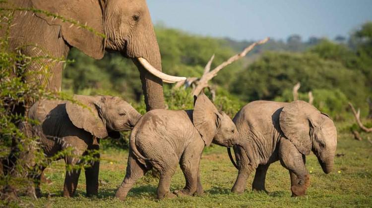 Elephant herd at Mashatu Tented Camp, Tuli, in wildlife rich Botswana