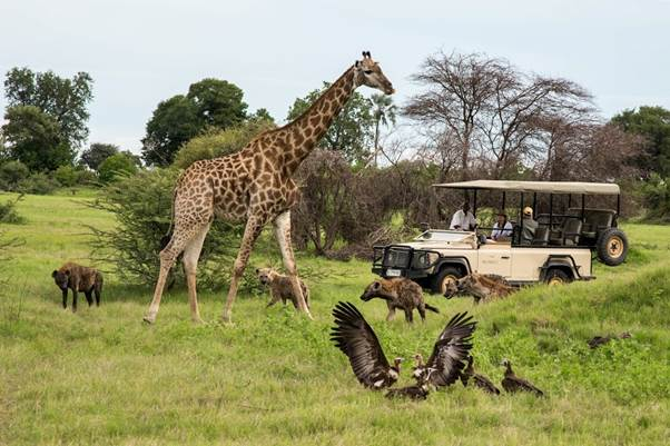 Mombo camp Okavango Delta Botswana giraffe hyena vulture on game drive