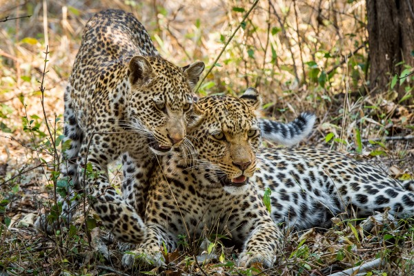 Tena Tena two leopards Robin Pope Safaris South Luangwa Zambia walking safari