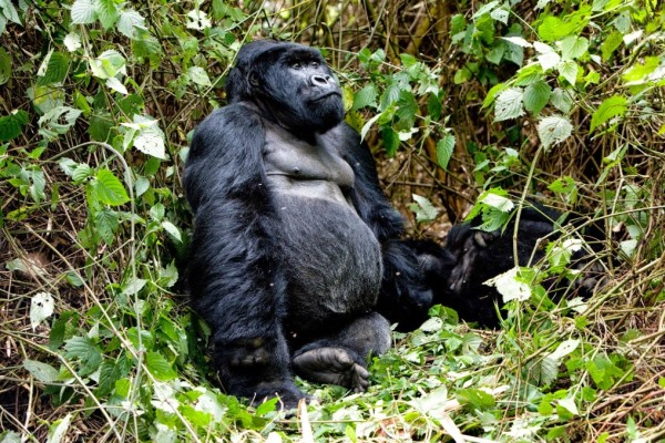 Sabyinyo-Siverback-Lodge-Rwanda-gorilla-sitting-in-forest-@governorscamps