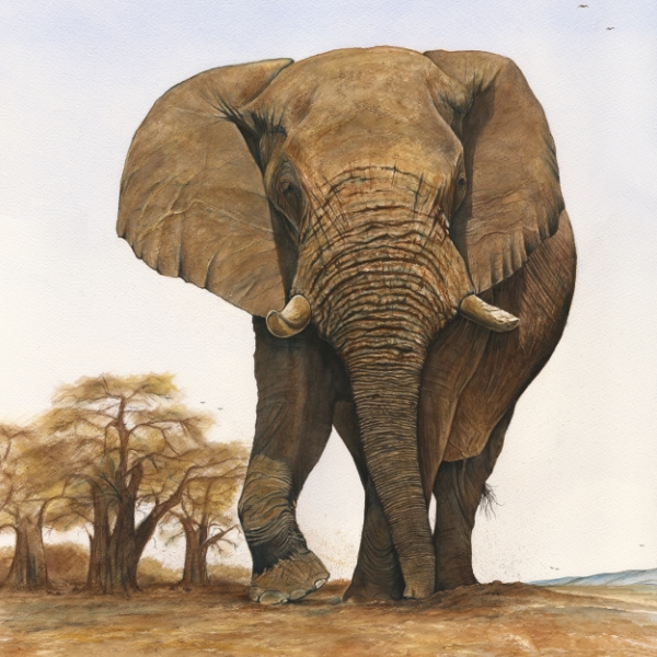 Simon Stevenson Lugga Bull elephant watercolour