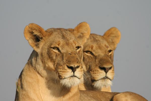 Tau_Pan_lioness_pair_sunshine-kalahari-botswana