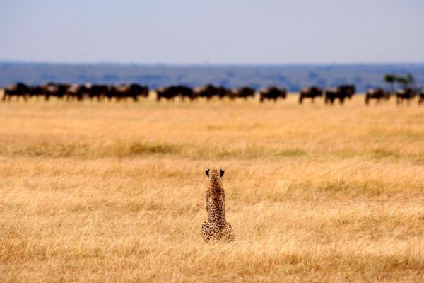 Cheetah-wildebeest-Serengeti-Safari-Camp-Tanzania-@NomadTanzania-600-400