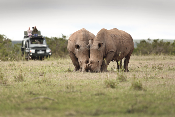 Rhinos on a wildlife drive