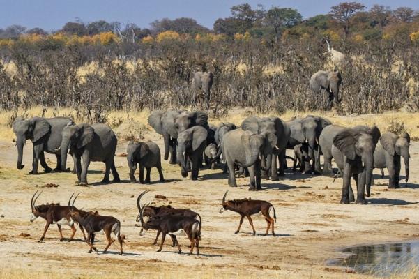 Elephants and sable antelope Hwange Zimbabwe Mark Butcher wildlifephotographyafrica com