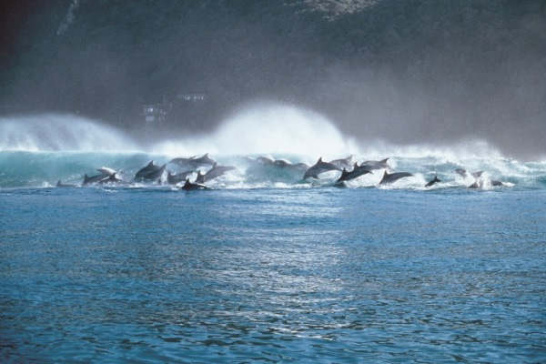 Kurland-Plettenberg-Bay-dolphin-pod-surfing-sea-view-SouthAfrica