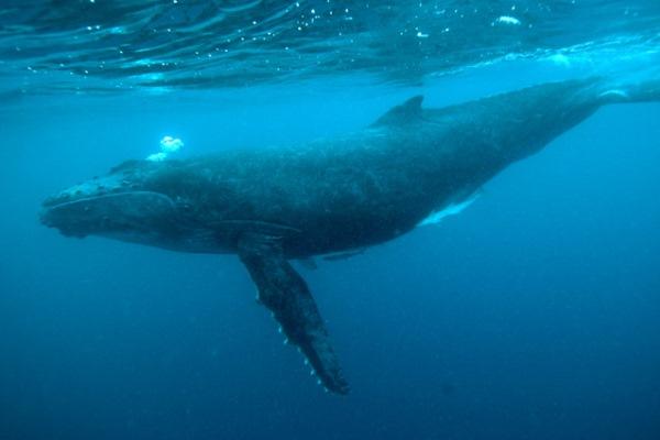 Princesse-Bora-Ils-Ste-Marie-Madagascar-whale-underwater-@PrincesseBora