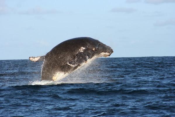 Vamizi-Island-humpback-whale-breach-quirimbas-archipelago-mozambique