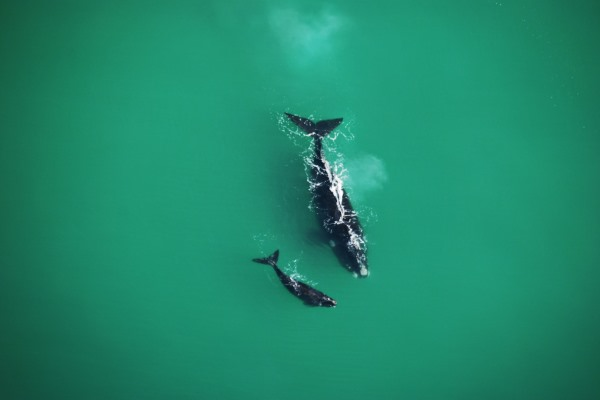 Whales - Morukuru-Ocean-House-whales-at-sea-mother-calf-SouthAfrica-whalewatching