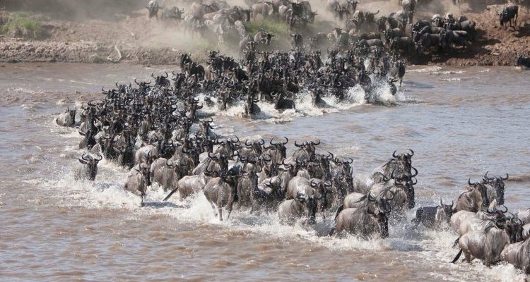 Wildebeest river crossing Serian North Camp Serengeti Tanzania Serian Camps