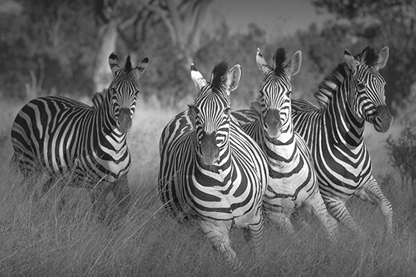 Black and white group of four zebra, David Murray