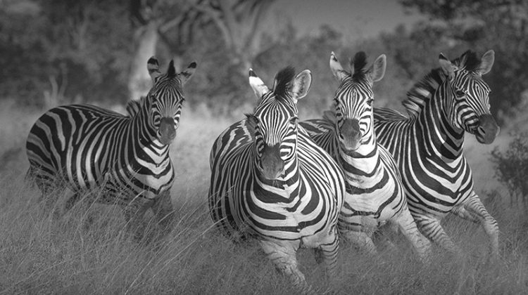 Where can I see the Zebra Migration?