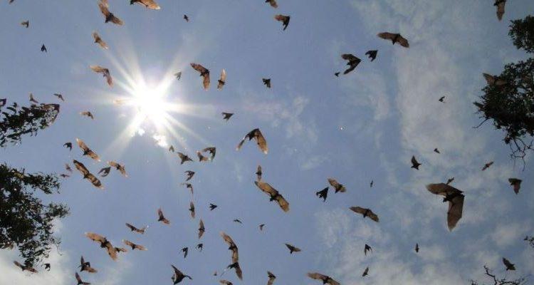 Bat migration in Kasanka Zambia Robin Pope Safaris