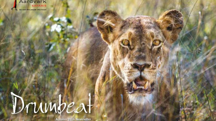 Drumbeat Autumn 2016 Front cover lionness in the grass close up