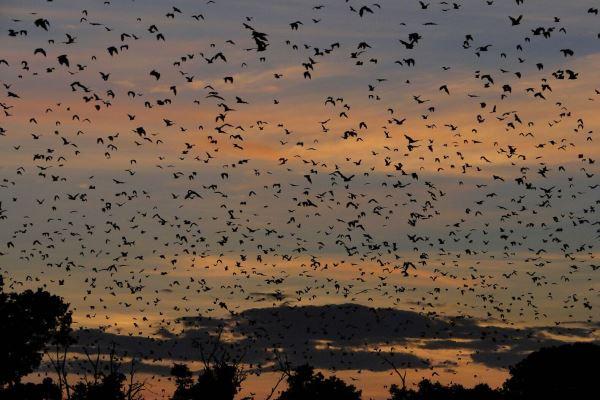 Dusk-bats-Kasanka-Zambia-migration-robin-pope-safaris-600-400