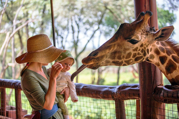 Kenya, Nairobi. A mother and her baby feed a Rothschild's Giraffe