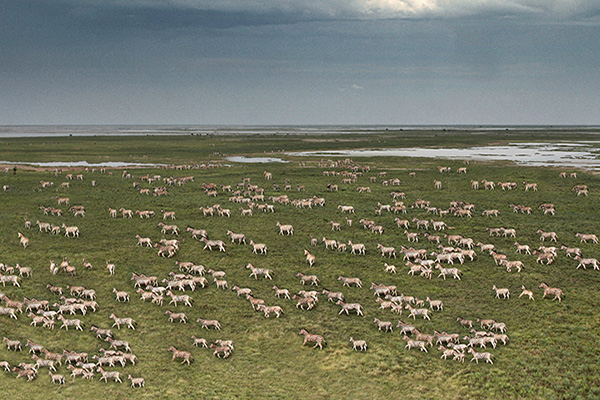 Zebra herds in the green season Makgadikgadi, Botswana