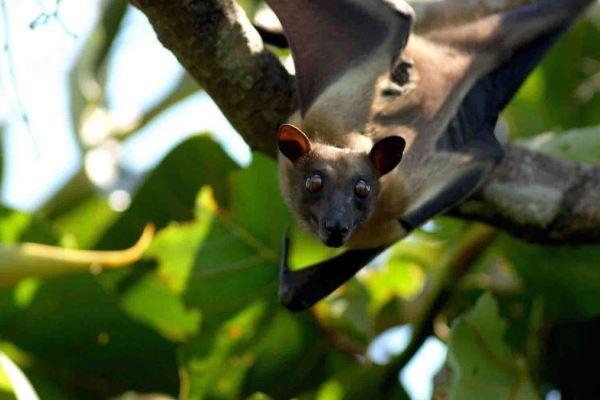 Kasanka-fruit-bat-roosting-robin-pope-safaris-zambia-600-400