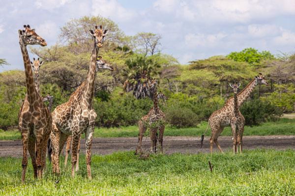 Large giraffe herd Selous Tanzania, Niels van Gijn @Silverless