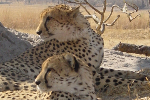 Pair of cheetah at Naxi Pan, Botswana, African Bush Camps