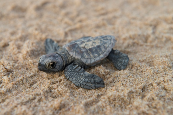 rocktail-baby-turtle-on-sand-south-africa