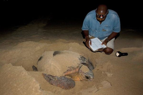 Rocktail turtle nesting and guide monitoring the turtle migration, South Africa