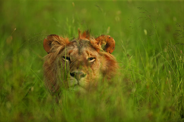 Lion in the grass, Singita, Grumeti, Tanzania