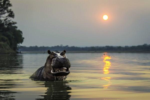 hippo-river-sunset-robin-pope-safaris-zambia-600-400