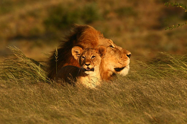 Wild lion and cub at Kwandwe, South Africa