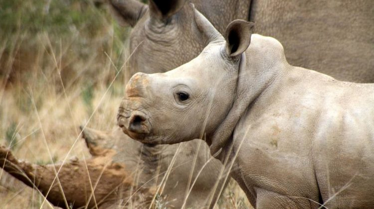 rhino conservation safari at Kwandwe, South Africa, Black Rhino and calf